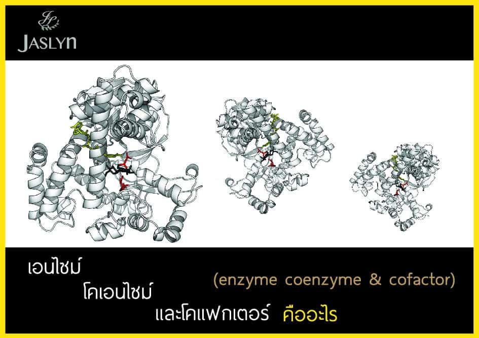coenzyme enzyme cofactor